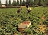 Marcoussis, la cueillette des fraises à Marcoussis. [années 1970-1980] - image/jpeg